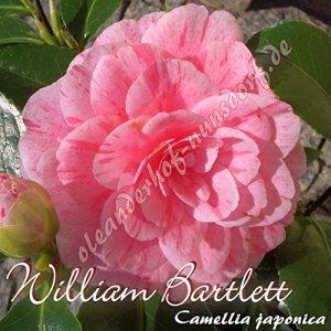 Kamelie 'William Bartlett' – Camellia japonica – 8 bis 10-jährige Pflanze