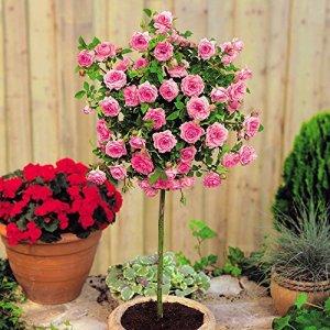 Rosier standard Meillandina rose – 1 rose