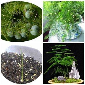 Plantes Asparagus Petit bambou de 6 graines Particules asparagus Graines