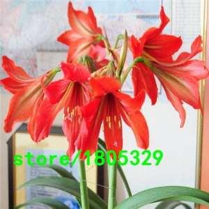 Fleurs en pot Blanc ampoules, Amaryllis Hippeastrum ampoules plantes en pot (ils NE sont pas Hippeastrum Graines)–100bulbs
