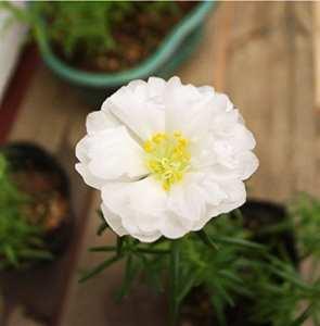 PinkdoseGraines de fleurs Pinkdose: Graines de fleurs de Rose du soleil à effet de serre (9 sachets) Graines de plantes de jardin