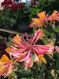 RWS Japonais chèvrefeuille 15 graines, (Lonicera japonica) teejasminartige parfum intense