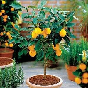 Isuper 50 Graines de Lemon sain et dlicieux Grains de Lguimes Seed