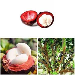 Ncient 10pcs/Sac Graines de Fruit, Mangoustan Graines Seeds Bonsaï Plante En Pot Semences Vivaces de Jardin