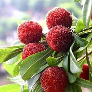 Ncient 20pcs/Sac Graines de Fruit, Graines de Arbousier, Fruitier Seeds Myrica Rubra Arbre aux Fraises Semences Non Traitées Vivaces de Jardin