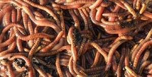Original Organics vers tigres de compostage, compost rapide de qualité supérieure