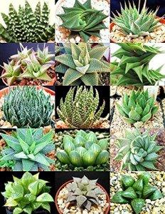 Haworthia MIX plantes rares de sotnes vivants cactus fleur exotique 10 graines de plantes succulentes