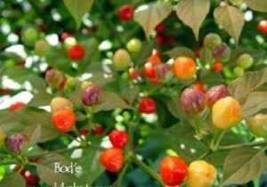 1000 BODE Hot Pepper Seeds – Un petit poivre du Brésil»VERRY HOT» Saveur fruitée