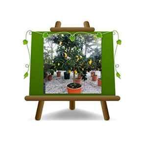 Citrus Citron – Citrus Limon – Sapling – Fruitier sur un pot de 40 – arbre max 160 cm