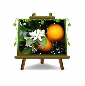 Citrus Sinensis – Citrus Sinensis – Plant de fruits sur 40 pots – max 160 cm