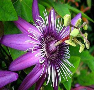 Pinkdose 10 stücke Passiflora zimmerpflanzen Blumen Garten ErbstüCK Bonsai Pflanzen