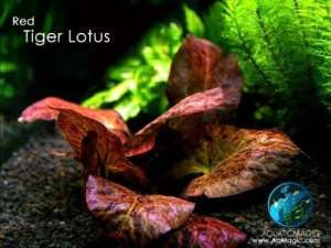 Bulbe de Lotus Red Tiger LUFFY : Graines de Plante Aquatique d'Aquarium d'Eau Vive pour des Lotus pour Paysage d'Aquarium