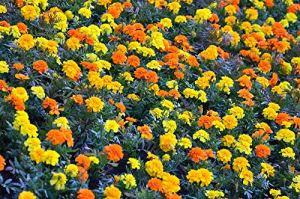 Souci français – jaune + orange, un ensemble de graines de deux variétés – 2 paquets de graines