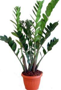 ZAMIOCULCAS Plante d'intérieur – Plante pour la maison ou le bureau – hauteur environ 70 cm – surnommée « Plante ZZ »