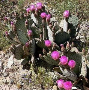 5 Les graines de figue de Barbarie Beavertail RLP106 (Opuntia Basilaris)