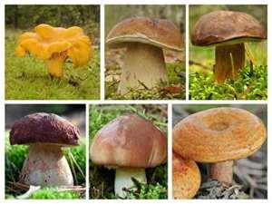 Ensemble de champignons coniferes – 6 especes – mycélium – graines