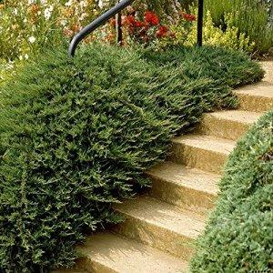 Juniperus Communis Repanda – 1 arbre
