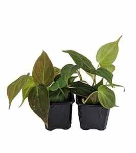 Rare en velours Feuille Bronze Micans Vigne–philodendron–Facile à faire pousser–10,2cm Pot de fleurs
