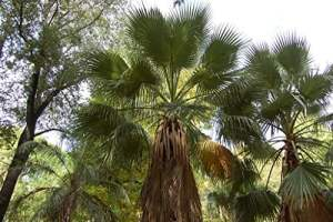 25 graines – WASHINGTONIA FILIFERA – Palmier résistant