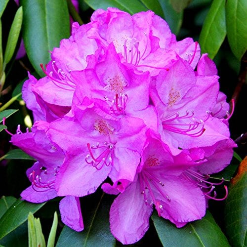 Rhododendron Roseum Elegance – 1 arbrisseau
