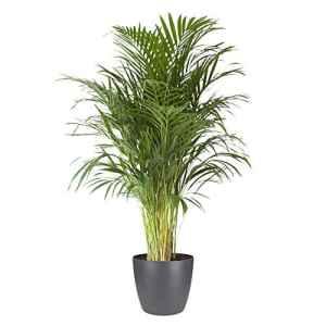 BOTANICLY | Plantes vertes d intérieur – palmier d'Arec avec cache-pot anthracite comme un ensemble | Hauteur: 125 cm | Areca/Dypsis lutescens