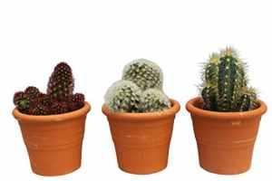 Cactus – Ensemble de 3cactus d'intérieur – 12 à 18cm de hauteur, dans un pot en terre cuite
