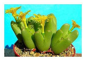 Conophytum bilobum – succulente – 5 graines