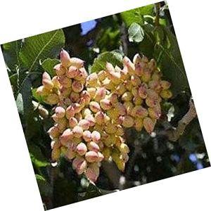 GEOPONICS 10Pistachio Nut Tree (Pistacia Vera)