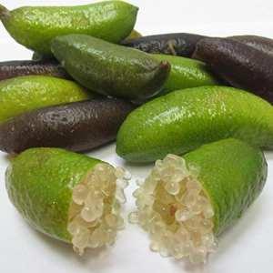 Microcitrus australasica – Citron caviar – Lime d'Australie