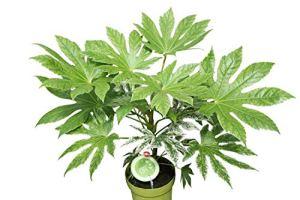 Plante d'intérieur – Plante pour la maison ou le bureau – Aralia du Japon – Plante huile de castor panachée – Approx. 50cm de hauteur