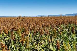 SIROP de 50KN Morris Sorgho 25% plus de jus bicolor Légumes Graines de grain