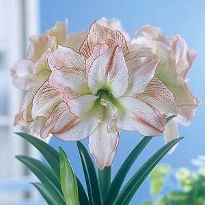 Amaryllis Aphrodite – 1 bulbe de fleur