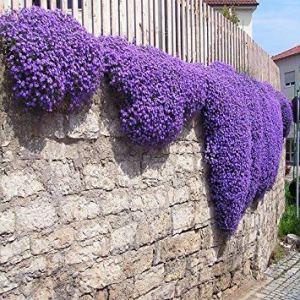 ASTONISH GRAINES D'ASTONIE: 200+ pourpre arabette Cascading Graines de fleurs, sous la plante Sun