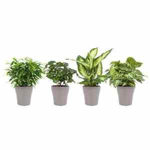 BOTANICLY | 4 × Plantes vertes d intérieur – Canne du muet camilla, Caféier, Patte d'oie, Ficus benjamina avec cache-pot brun comme un ensemble | Hauteur: 25 cm