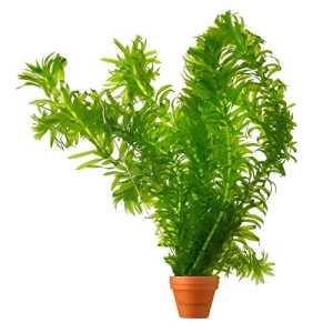 BOTANICLY | Plante aquatique – Waterworld Élodée dense | Hauteur: 15 cm | Elodea Densa
