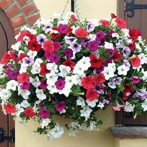 Foreverweihuajz 100pcs Spiderflower Graines bricolage Jardin plantation en pot bonsaï Décoration Merveilleux cadeaux de jardinage Spiderflower Seeds 1