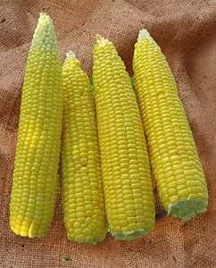 Justseed–Légumes–Graines de maïs–Une Base évolutive et–45