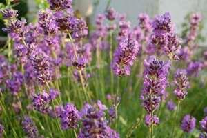 True Lavender, Graines de lavande fine – Lavendula vera – 180 graines