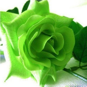 20x graines de rose verte