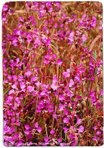 AGROBITS Clarkia Unguiculata 'Garland' [Formulaire] 1000 Voir