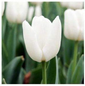 Elitely Fleurs de tulipes belles 24 varits peuvent choisir Pcs: 14
