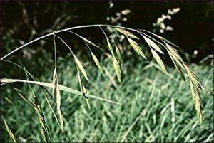 Farmerly Mediterranean Brome Ornamental Grass Seeds (Bromus Macrostachys)
