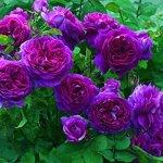 Heirloom rosier grimpant 300 graines Grimpeur Violet Vivaces Double