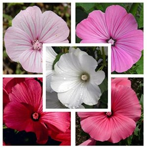 Rose Mallow lavatère trimestris Mix 250 graines D71