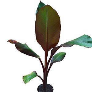 Musa maurelii – Bananier rouge – Ensète d'Abyssinie