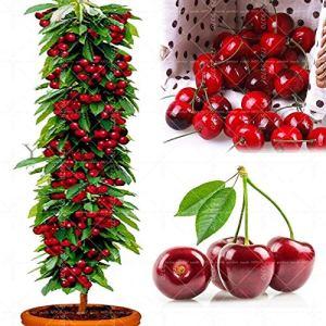AGROBITS 20pcs bonsaïs nain Cerisier gaint Asilola cerise plantes en pot fruit plante vivace jardin maison de fruits pseudocerasus Cerasus
