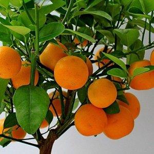 Citrus mitis – Calamondin – Oranger nain d'appartement