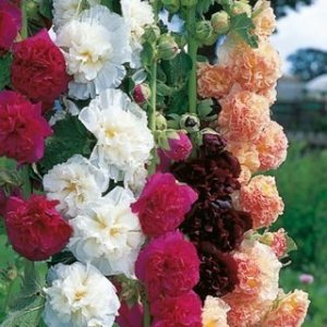 Double Bloom Mix trémière Seeds (Alcea rosea) 50 Graines UPC 646263362060
