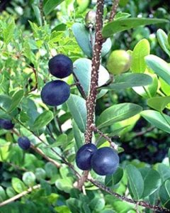 5 graines Chrysobalanus Icaco Cocoplum doux exotique prune tropical graines comestibles de fruits
