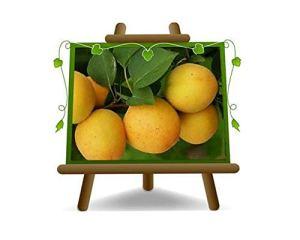 abricotier arbre de abricots Ninfa plante fruitière autofertile sur un pot de 20 max 170 cm – 2 ans